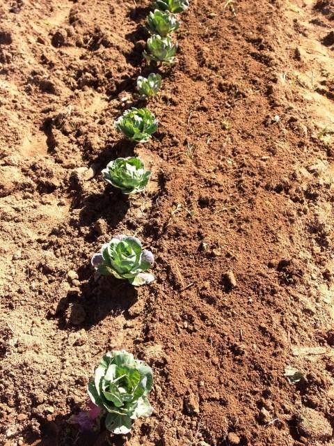 Rabanetes após a sementeira