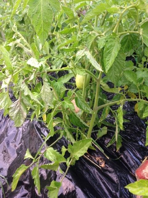 Primeiro tomate