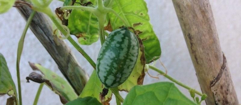 Cucamelon – Uma melancia em ponto pequeno