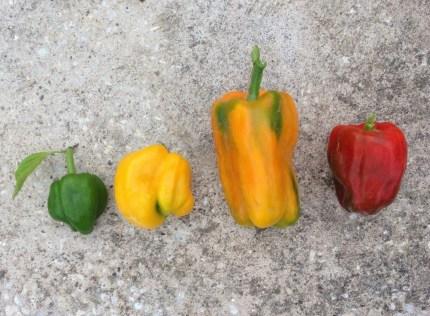 Os pimentos da horta
