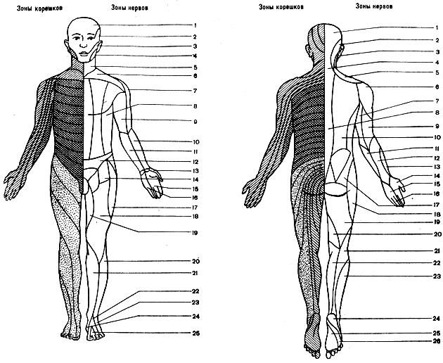 Анатомо-физиологические основы сегментарно-рефлекторного