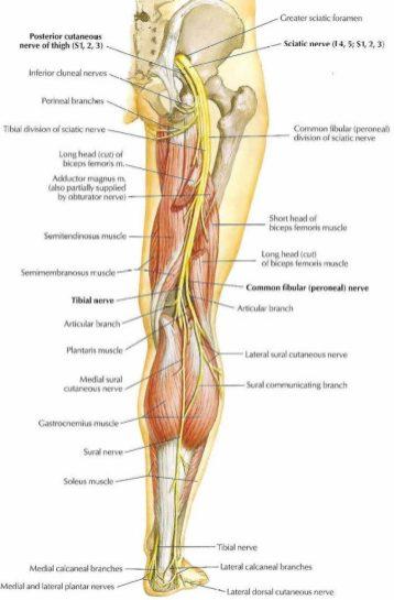 sciatic-nerve-673x1024