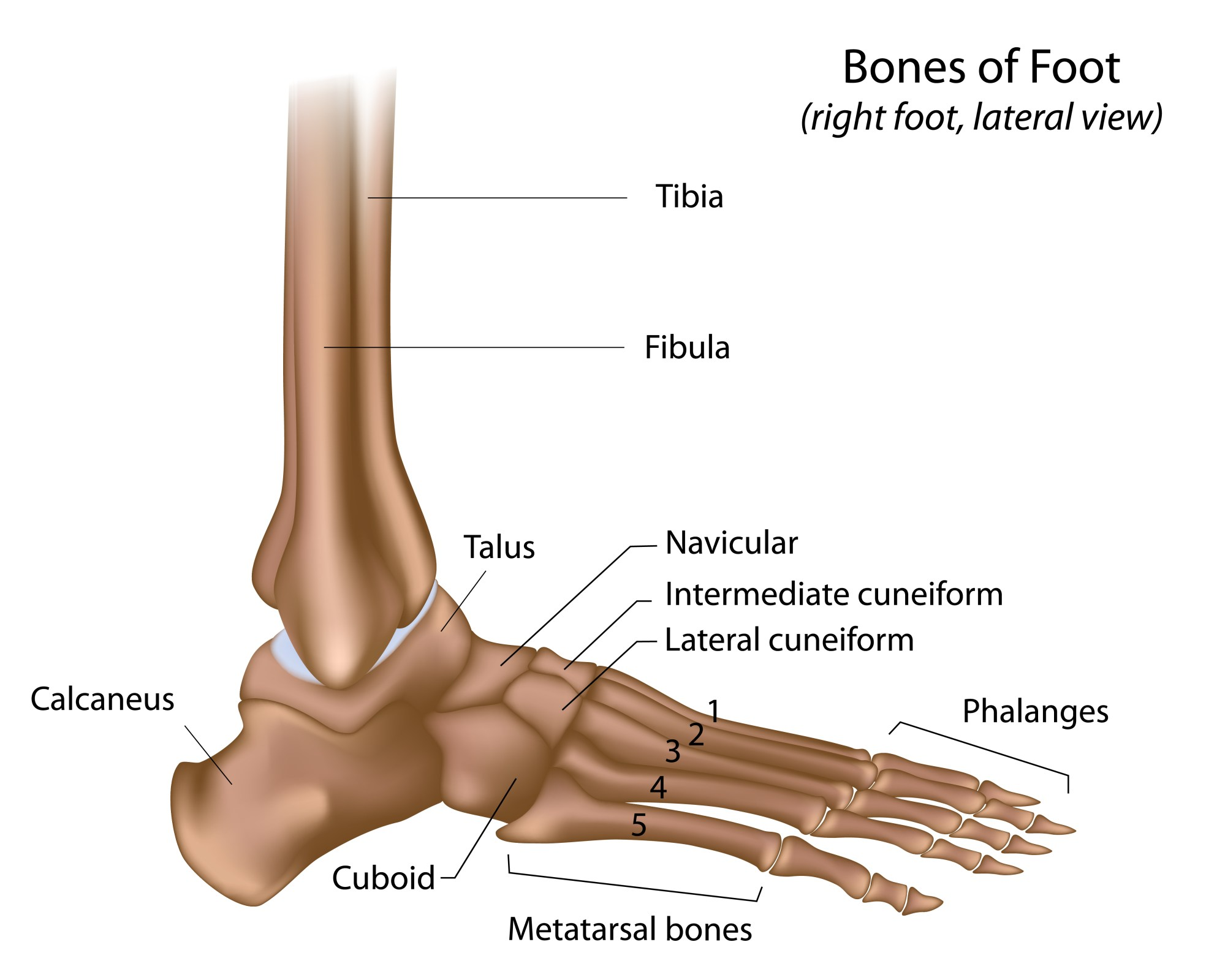 hight resolution of foot bones
