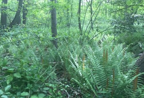 Ferns in Massapequa Preserve