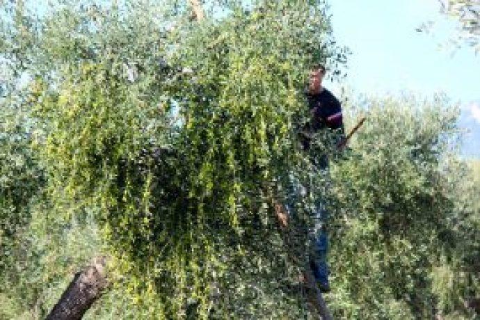 natives olivenol extra