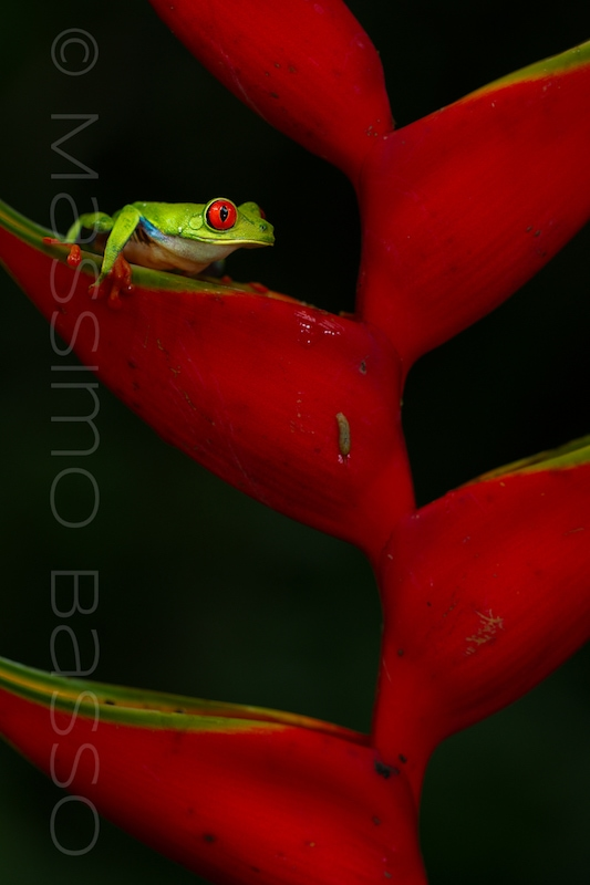 red eye tree frog oasis photo contest massimo basso