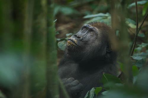 gorilla Bai Hokou bai hoku