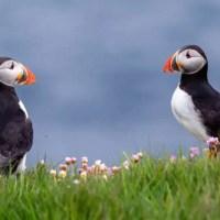 Lontre e pulcinella di mare alle Isole Shetland