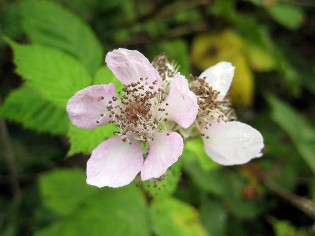 wild blackberry blossom