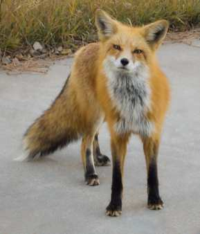Red_fox_image