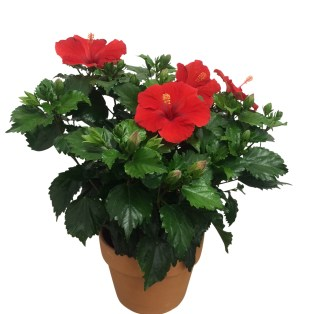 red-hibiscus-plant