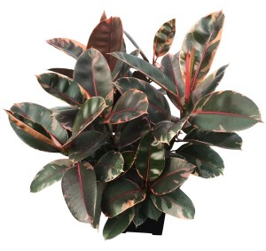 10-in-ficus-foliage