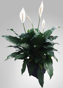 spathiphyllum-foliage-masson-farms