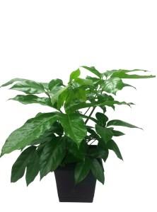 scheff-10-in-foliage