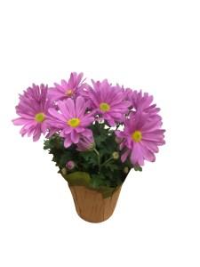 lavender-mum-4.5-in-masson-farms