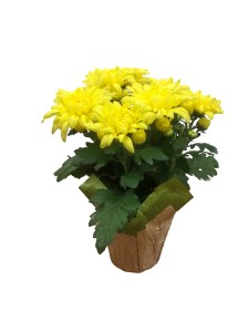 yellow-mum-4.5-in