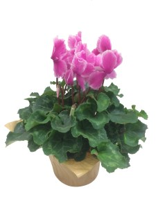 pink-cyclamen-6-in-masson-farms