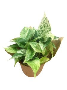 marble-queen-foliage-masson-farms