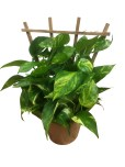 pothos-trellis-foliage-masson-farms