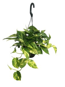6-in-hanging-basket-golden-pothos
