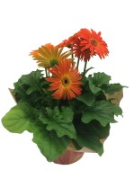 orange-gerbera-daisy-masson-farms