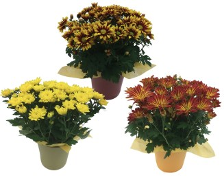 masson-farms-fall-mums-ceramic
