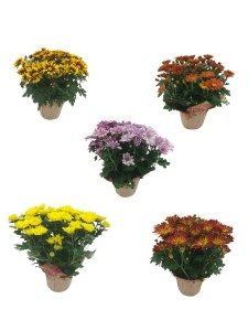 fall-mums-masson-farms-of-new-mexico