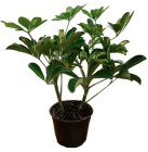 6-in-schefflera-capella