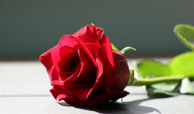 Red Rose - Red Hose