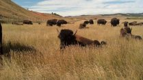 Bison - Custer State Park