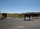 Mules @ Custer State Park