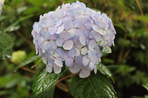 A beautiful hydrangea in the Mize Garden at Stepen F. AUstin State University in Nacogdoches
