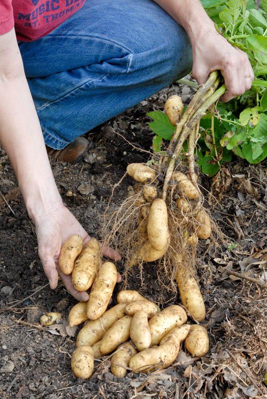 Russian Banana fingerling potatoes.  Photo by Bruce Leander
