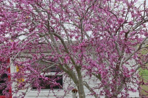 A redbud in full bloom is a great reminder that spring really is here again