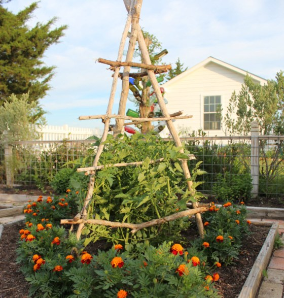 A homemade tomato trellis in my potager