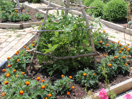 Marigolds surrond the Roma tomatoes in my potager