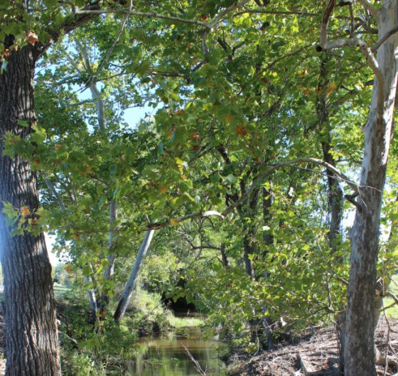 """Trees don't """"have"""" to be trimmed.  These lovely cottonwoods and sycamores have never seen a a pruner or saw and they look pretty spectacular"""
