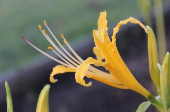 lycoris-aurea-2