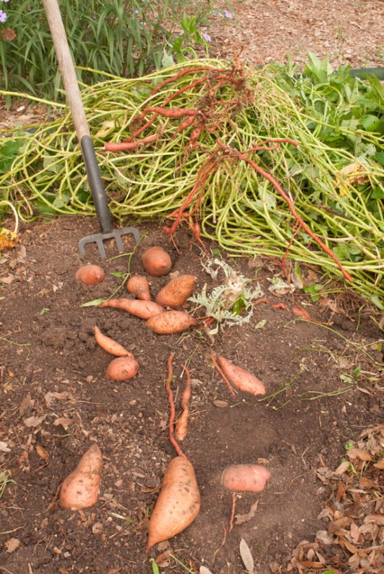 sweet-potato-harvest-3