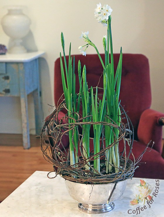 vine_supoort_paperwhites_growing
