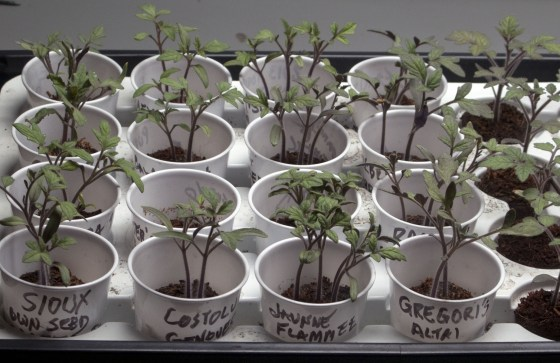 Tomato transplants (and photos) by Austin reader Harry Cabluck