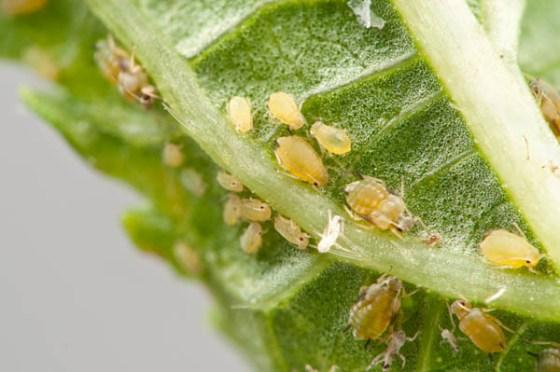 aphids-leaf