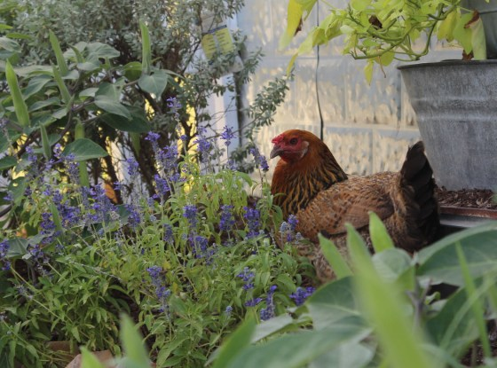 chicken-in-garden