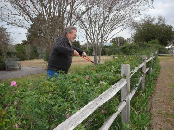 "Mike Shoup knows a few things about roses.  He is the owner of the Antique Rose Emporium.  He uses shears to prune ""Old Blush"" every fall"