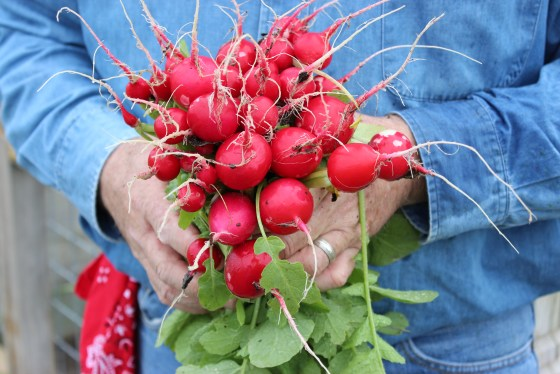 There are so many varieties of radish and they all mature very quickly.  why not try a French Breakfast or Icicle radish this fall.