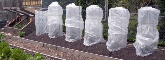 Garbage bags over tomato plants Thursday, March 19, 2015, in Austin, Texas. ( Photo/Harry Cabluck)