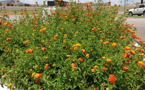 If lantana can thrive in the middle of an HEB parking lot, it can certainly thrive in your yard. In my opinion lantana is the most versitile, tough and pest free color plant you can use in your Texas landscape.