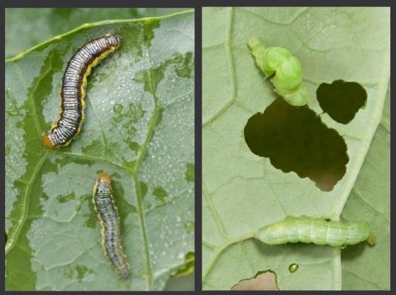 Cross-striped-caterpillar-cabbage-looper