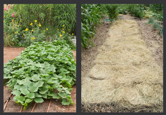 Sweet potatoes (left) and a fallow bed covered with alfalfa mulch