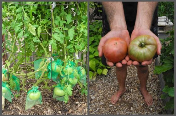 Organza bags protect Kurt's prized 'Cherokee Purple' tomatoes.